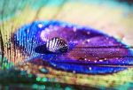 Peacock feather I by Isselinai