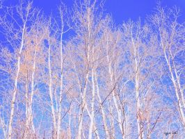 White Birch by MeridaNinian