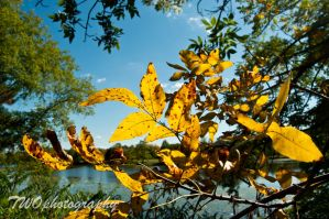 Golden Leaves by TWOphotography