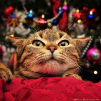 Scared of Christmas tree! by ZoranPhoto