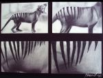 Thylacine by Hamarill