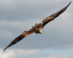 Red Kite II by Yslen