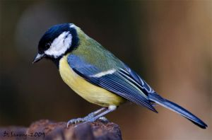 Great tit macro by Slinky-2012