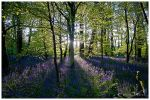 Bluebells by Shutterflutter