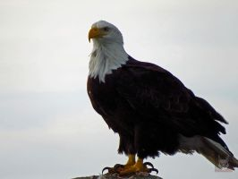 The Profile Of A Eagle by wolfwings1