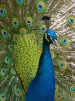 Peacock in France by matthopesphotography
