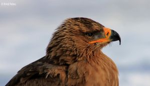 Steppenadler / Steppe Eagle 3 by bluesgrass