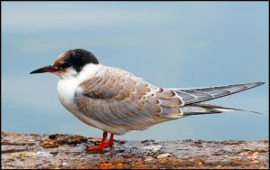 juvenille common tern. by andy-j-s