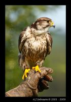 Falcon Portrait III by andy-j-s