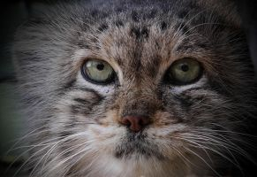 Manul III by Lilia73