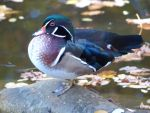Mandarin Duck by yeles