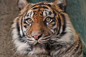 Sumatran Tiger 0095 by robbobert