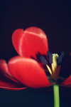 tulip. by llovelace