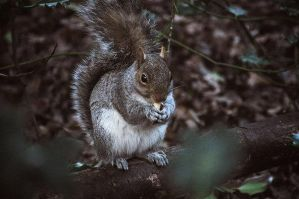 Squirrel. by JuliannaRembrandt