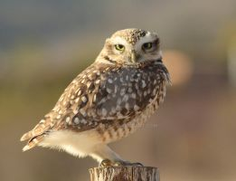 Burrowing Owl / Lechucita Vizcachera by Zenet2527