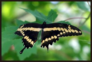 Tiger Swallowtail by shae2003