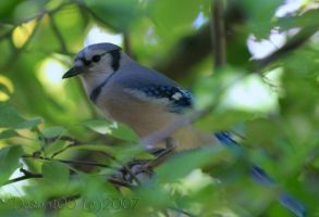 Blue Jay by desmo100