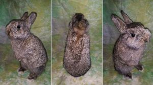 Agouti Rabbit Lifesize Mount SOLD by DeerfishTaxidermy
