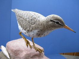 Spotted Sandpiper 2 by Bagheera3