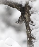 White breasted Nuthatch by barcon53