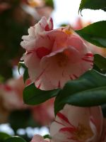 Camellia 10 by botanystock