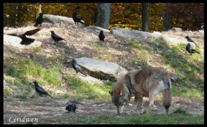 Timberwolf and crows by Ceridwens-gallery