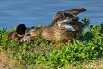 Mr. and Mrs. Mallard by PaulWeber
