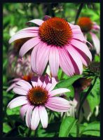 Flowers in Pink v1.0 by xseption