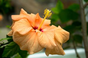 Hibiscus in December by sztewe