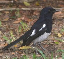 GreenNexus51 hunt for the oriental magpie robin by GreenNexus51