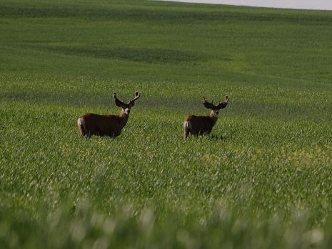 THE BUCK BOYS by prows1