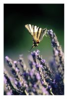 A butterfly and lavender by Ciril