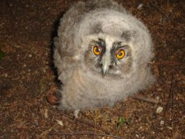 Baby Long-eared Owl by WolfDemonG
