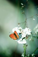 Butterfly orange by brokenbokeh