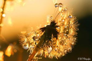 reflecting beauties combined with the dandelion by MT-Photografien