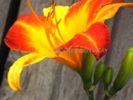 Day-Lily ID by Agent-Kay