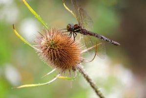 Dragonfly on a thistle. by sweatangel