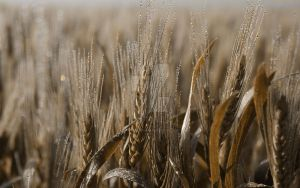 Wheat Dreams by Bartistictouch