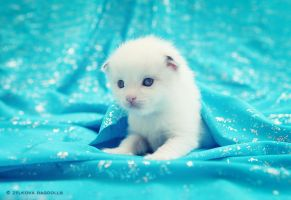bicolor ragdoll kitten 2 by venomxbaby