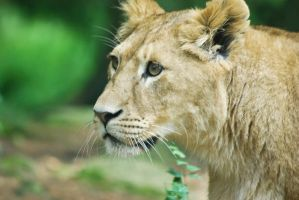 Lioness 2 by Electrokopf