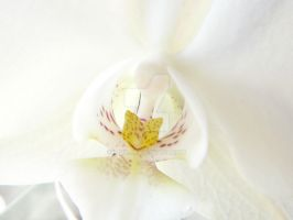 White Orchid. by Z-uh