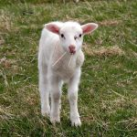 Little Lamb by KeenPhotography