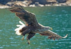 looking for lunch - White-tailed Eagle by Jamie-MacArthur