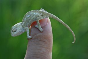 baby chameleon by lisans