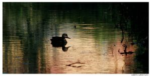 Lonely Duckling by wilderBeest
