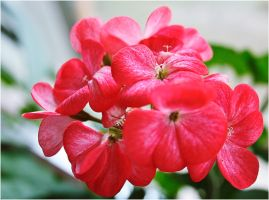Simple geranium by VasiDgallery