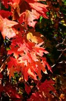 Fall Leaves by RogueMarine