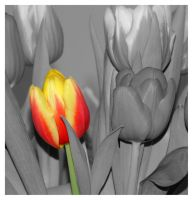 Two colored tulip by inbalance