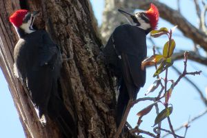 Pileated Woodpeckers Near Holmes Run by faolruadh