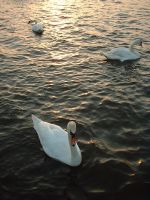 The Three Swans by e-s-d